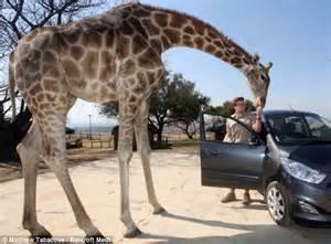How tall is a giraffe giraffe height zooologist jpg 634x469